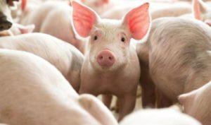 На Лебединщині зафіксовано випадок африканської чуми свиней