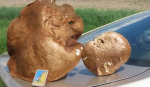 На Роменщині знайшли гриб-велетень (фото)